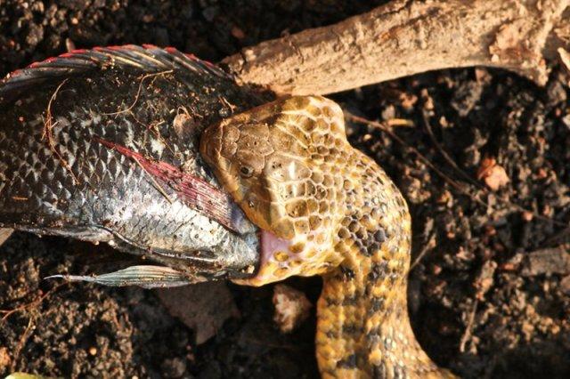 Keelback Snake gulping a big fish at Lalbagh