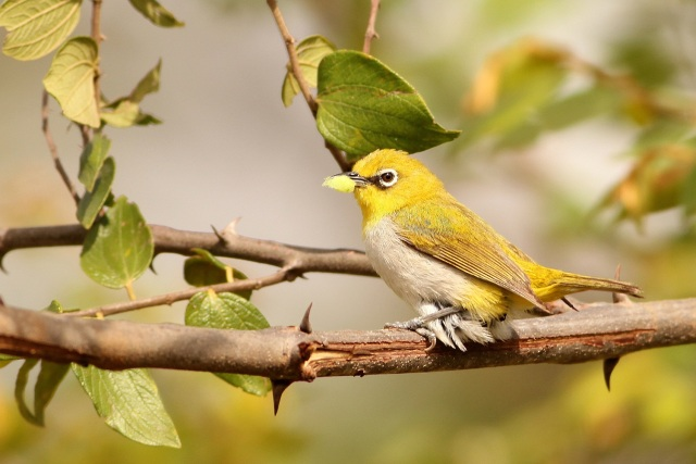 Oriental White Eye searching the nest